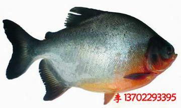 做法|白鲳图|清远市清城区图片样板鱼简单的炒菜菜谱家常菜鱼苗图片