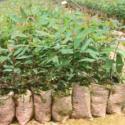 赣州哪里有桉树苗供应图片