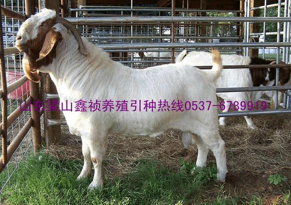 供应双鸭山波尔山羊