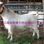 波尔山羊繁殖技术图片