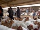 波尔山羊养殖利润图片