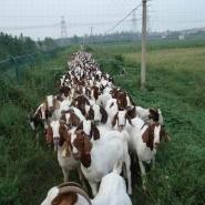 波尔山羊的养殖视频图片