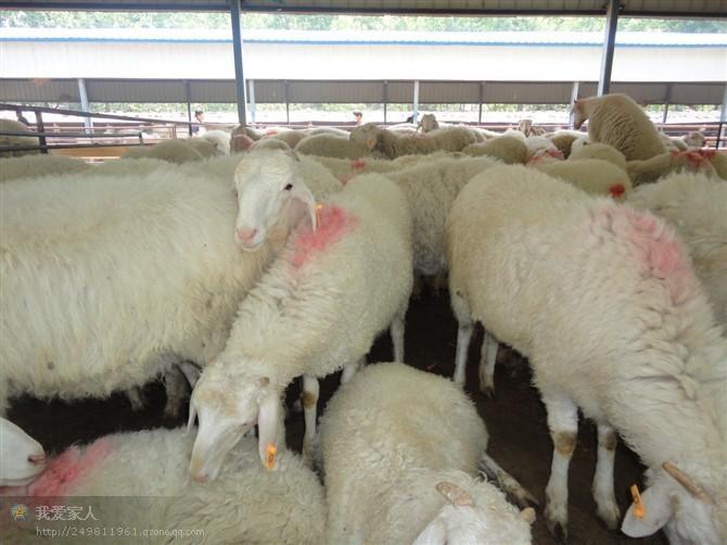 供应小尾寒羊生长发育特性
