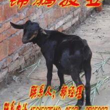 黑山羊养殖场批发