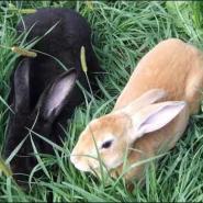比利时肉兔大量选购图片