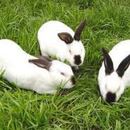 比利时肉兔供应商图片