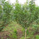 供应籽生榆叶梅