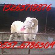小羊羔种羊羔母羊羔种公羊图片