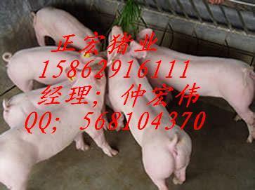 供应甘孜藏族苗猪价格行情/甘孜藏族中国仔猪网/甘孜藏族苗猪网