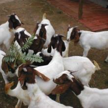 波尔山羊繁育技巧