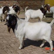 福建肉羊养殖基地福建波尔山羊价格图片