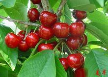 美国樱桃苗销售