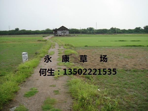 台湾草图片