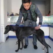纯种血统格力犬图片