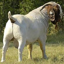 供应小尾寒羊山东圣润养殖场向全国供应肉羊种羊图片