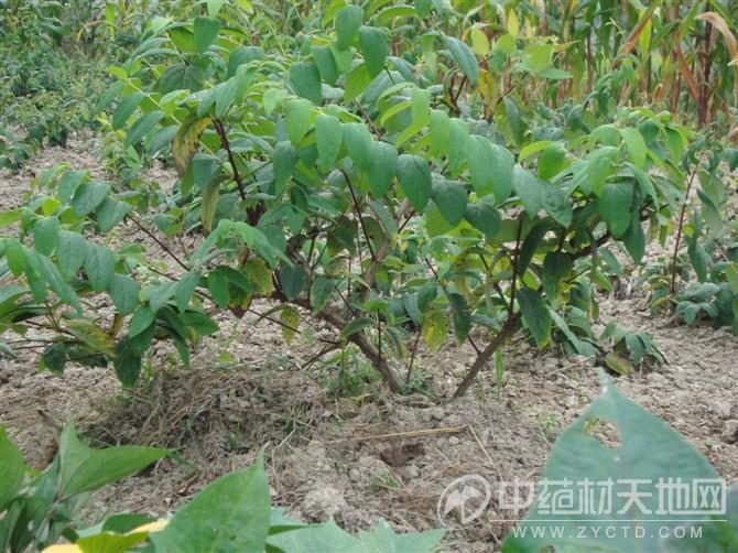 供应金银花苗木种植