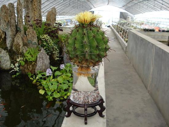 水培花卉/水培植物/水培仙人球图片
