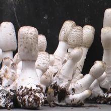 供应食用菌鸡腿菇