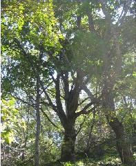蒙古栎20公分丛生销售