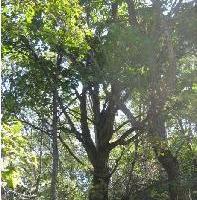 供应蒙古栎10公分丛生