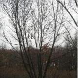 供应蒙古栎25公分丛生