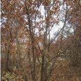 供应蒙古栎种植园 河北蒙古栎供应 承德蒙古栎培植