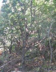 蒙古栎图片/蒙古栎样板图 (2)