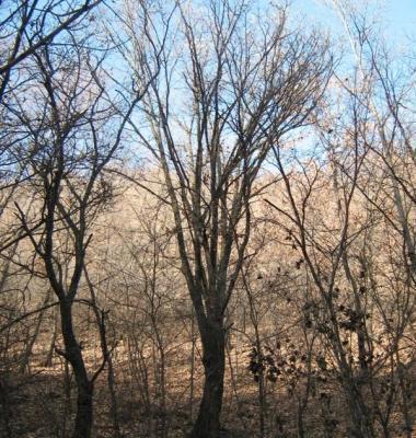 蒙古栎图片/蒙古栎样板图 (4)