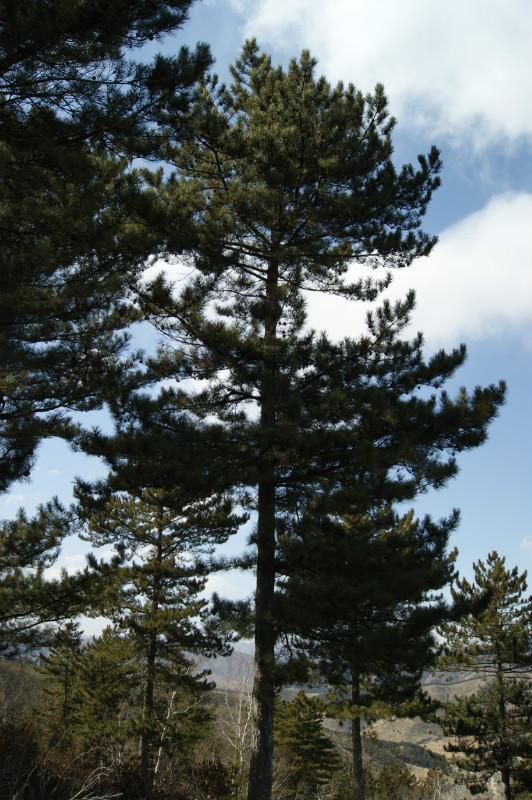 """供应""""油松""""1-2米河北苗木"""