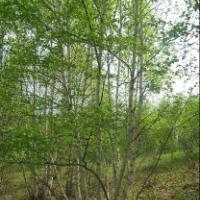 供应山东白桦大量批发,白桦种植,白桦价钱