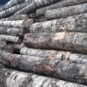 桦木原木图片