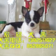 深圳哪里有卖纯种吉娃娃图片