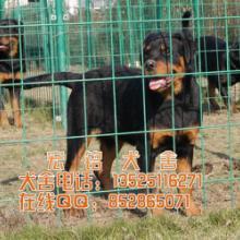 供应江门哪里有卖罗威纳犬 罗威纳犬什么价格图片