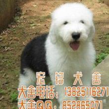 供应广州什么地方有卖古代牧羊犬