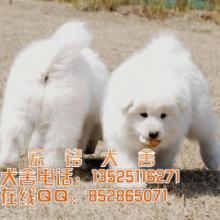 供应东莞什么地方有买萨摩耶犬图片