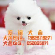 东莞哪有卖博美犬图片