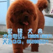 广州什么地方有卖纯种大狮头藏獒犬图片