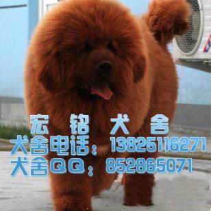 纯种藏獒犬多少钱图片