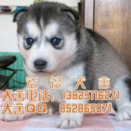东莞宠物狗哈士奇犬哪里有卖哈士奇图片