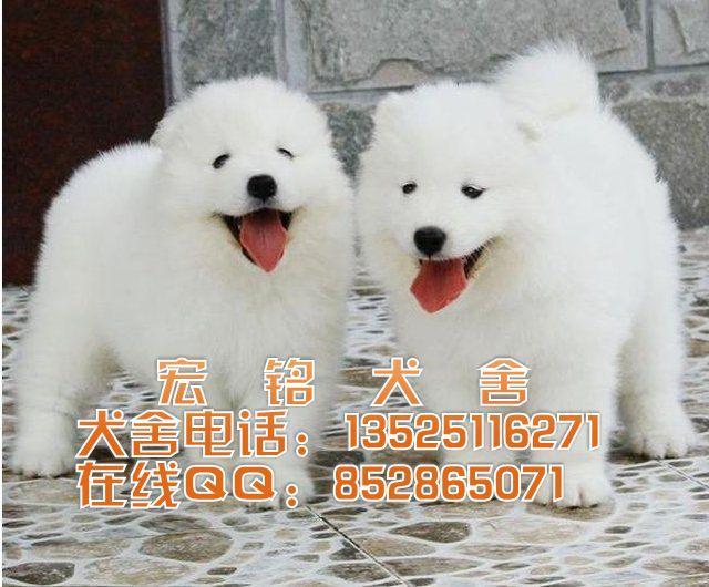 萨摩耶犬多少钱销售