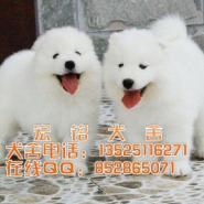 奥版白色萨摩耶犬图片
