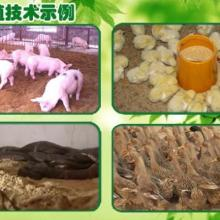供应EM益生菌生态养殖黄鳝批发