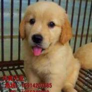 专业养美系纯种金毛犬图片