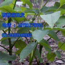 巫山核桃苗、巫山核桃苗批发、巫山核桃苗种植技术