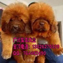 广州藏獒犬照片广州藏獒犬价格广州藏獒犬批发