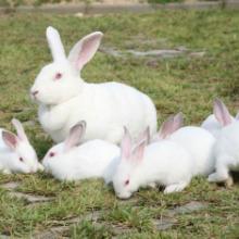 供应肉兔种兔批发