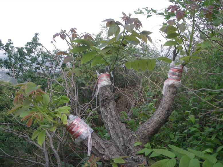 核桃树嫁接技术图解_核桃树的嫁接技术
