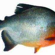 白鲳鱼苗图片