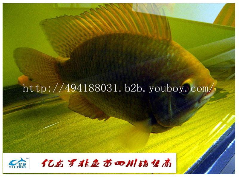 四川/四川自贡已经大量养殖罗非鱼图片