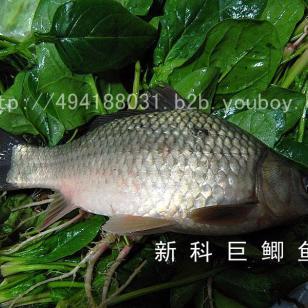 丰产鲫鱼新科巨鲫鱼黄金鲫鱼图片